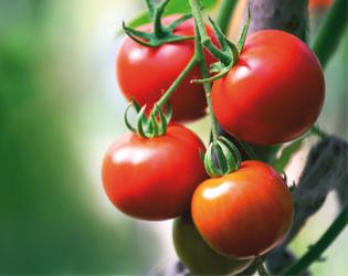Pomodori urbani a o for Cimatura pomodori